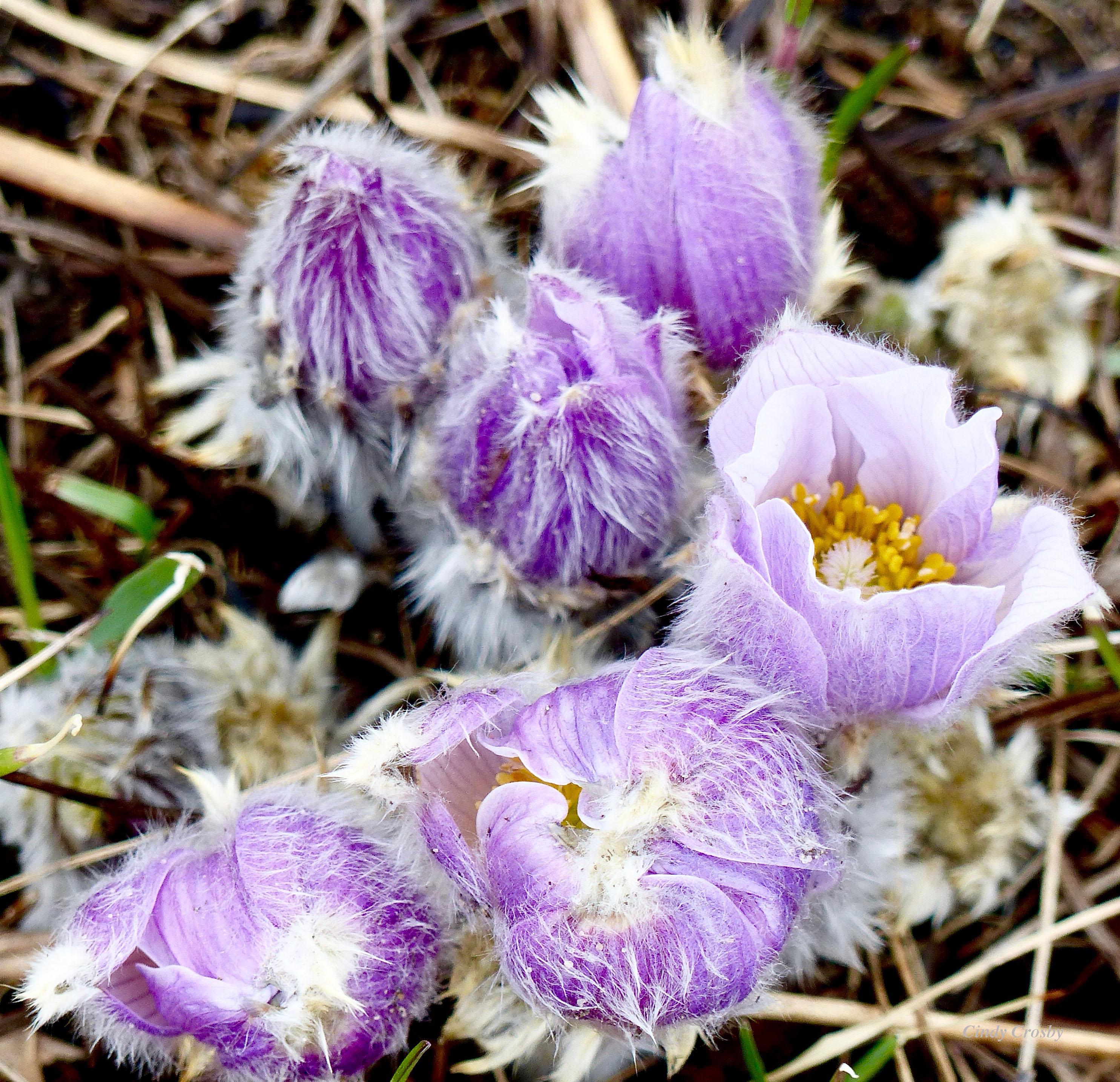 pasqueflowersnachusa2016?WM.jpg