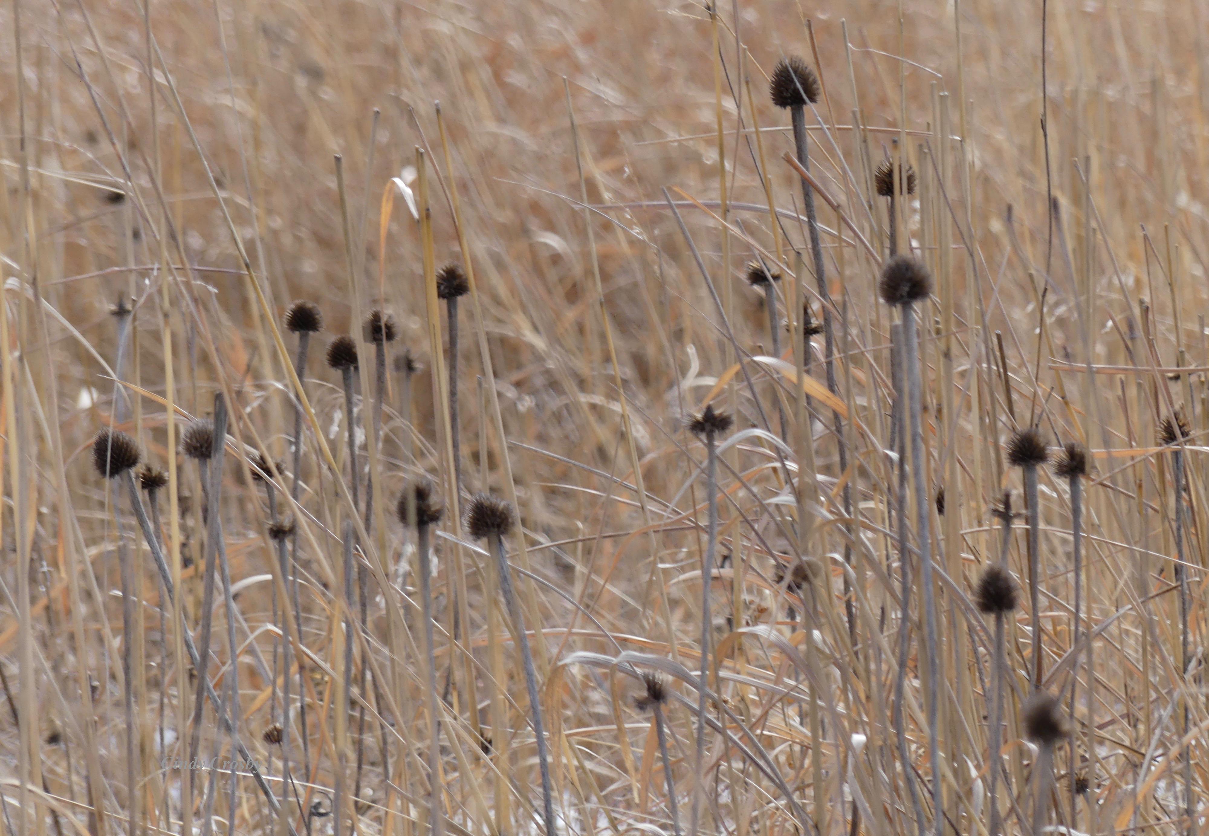 palepurpleconeflowersbelmontprairie12020WM.jpg