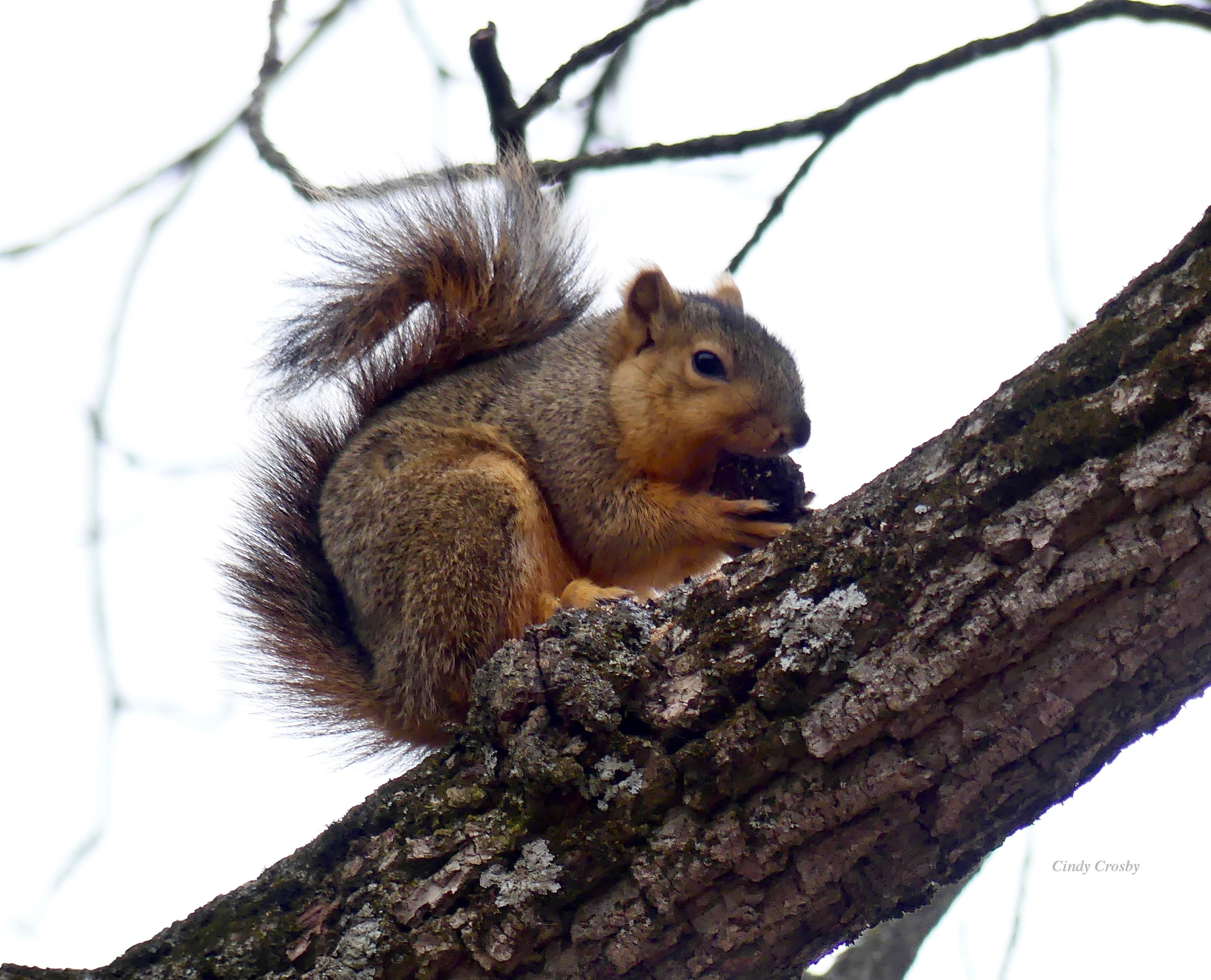 squirrelgnawingnutSPMA1520WM.jpg