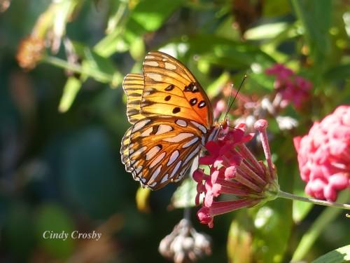 butterflyCaptivaIsland2320WM