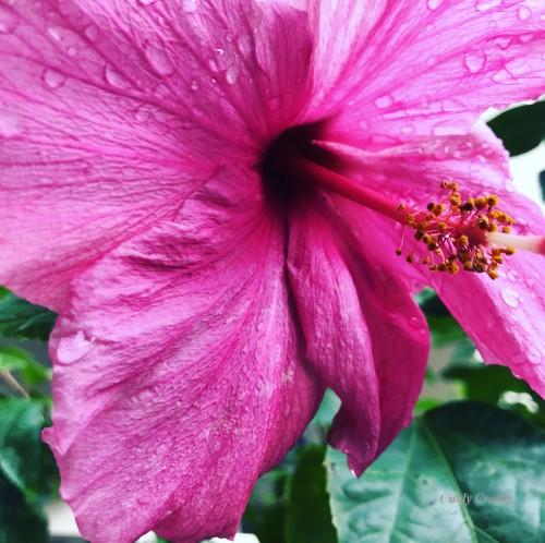 Hibiscus Florida Captiva 2220WMWM.jpg