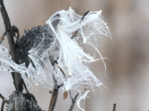 Milkweed in the Sleet COD PrairieWM 2920.jpg
