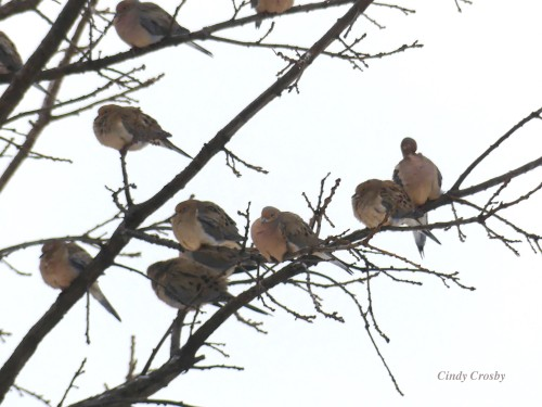 Mourning Doves COD2920WMWM.jpg