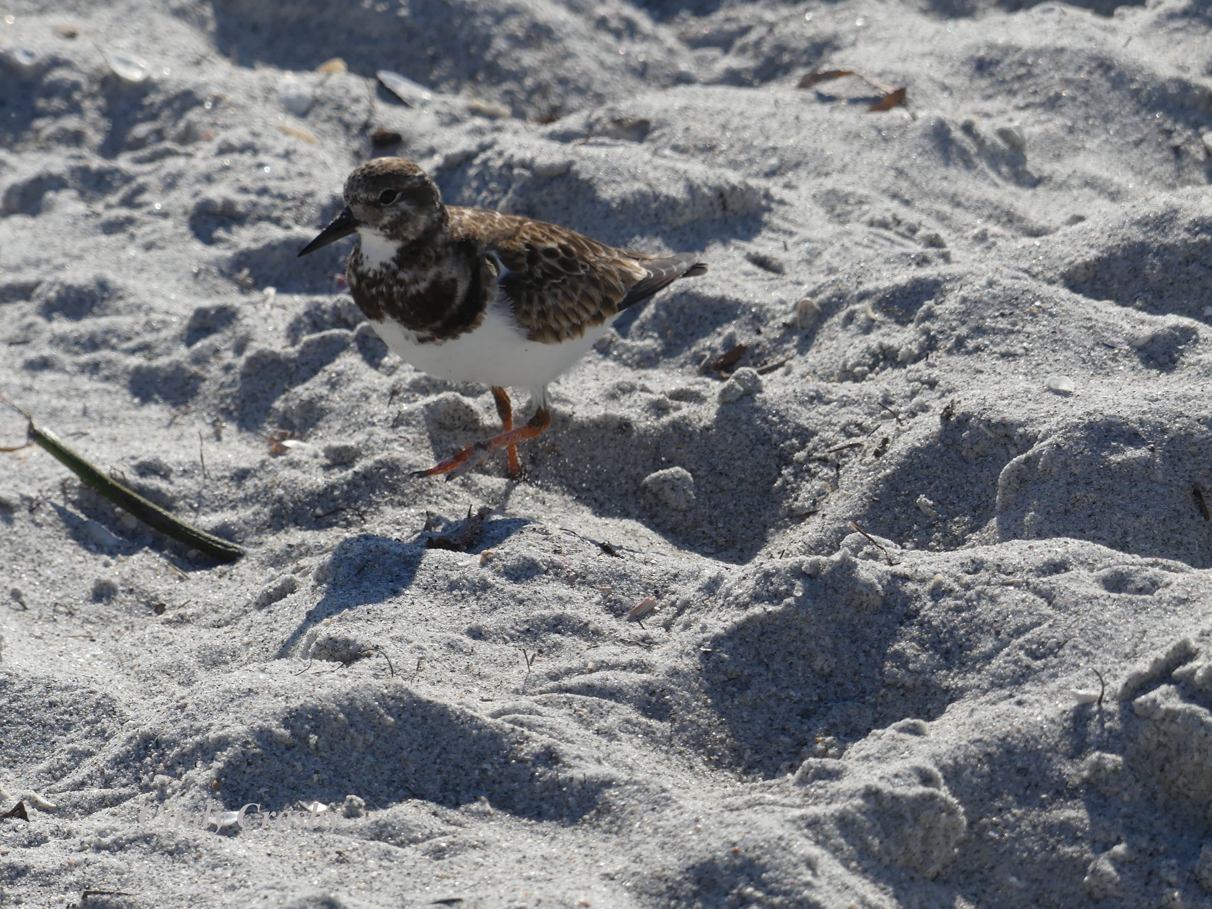 shorebirdCaptivaIsland2320WM.jpg