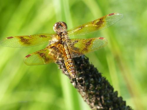 Eastern amberwing femaleWMSPMA.jpg