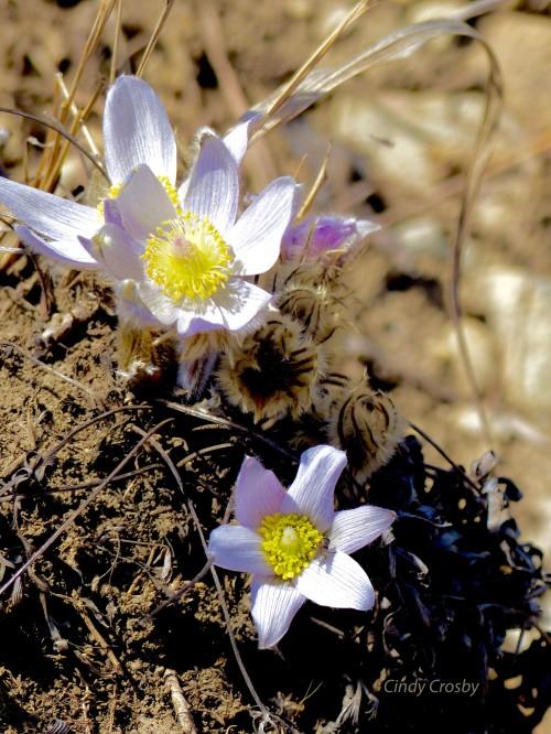 pasqueflowers42218SPMAwatermark.jpg
