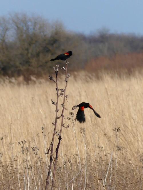 redwingedblackbird3220WM.jpg