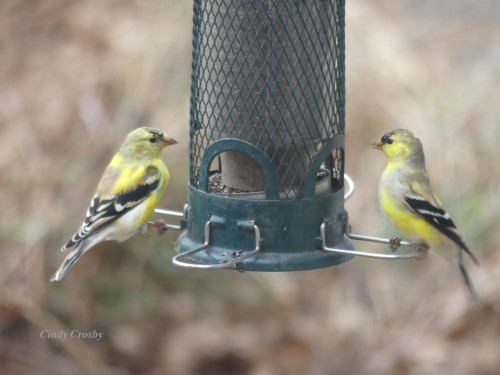 Goldfinches GE backyard 4320WM.jpg