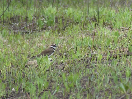 Killdeer COD Prairie 41220WM.jpg