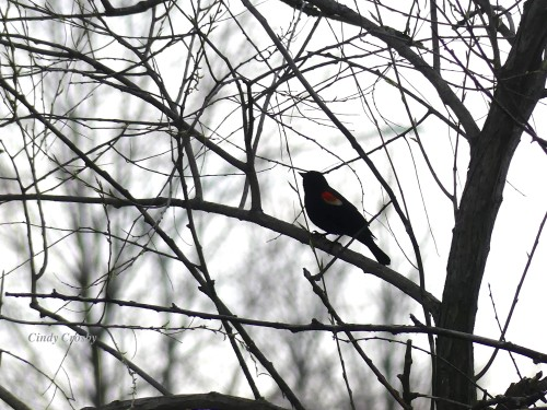 RedwingedBlackbird41220WMCOD