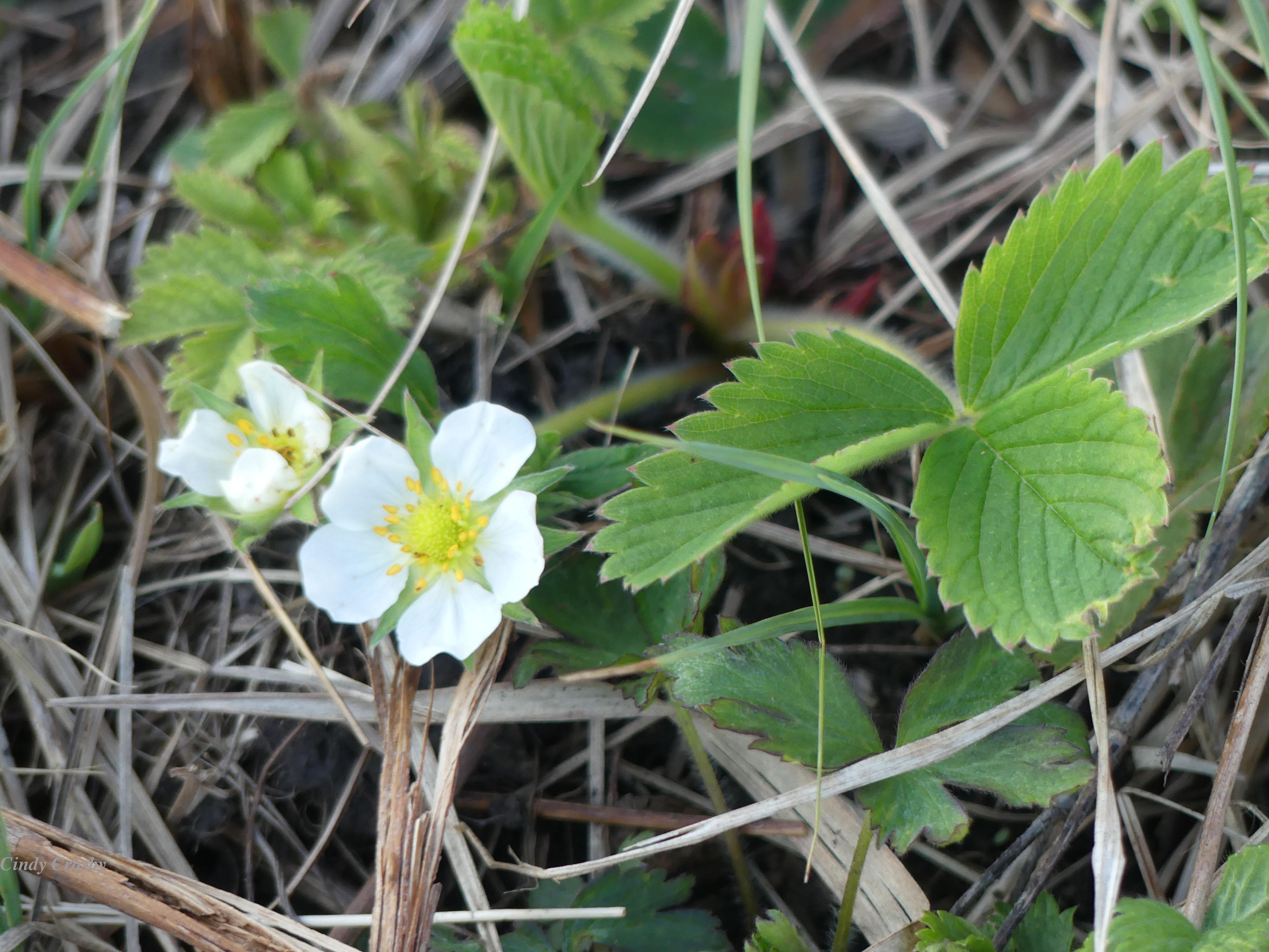 WildStrawberryBelmontPrairie42620WM.jpg