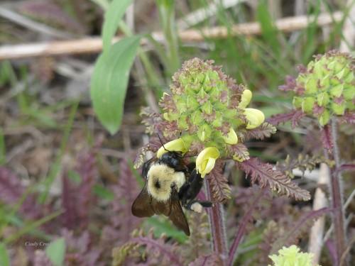 BumblebeeonWoodBetony 5220NGWM.jpg