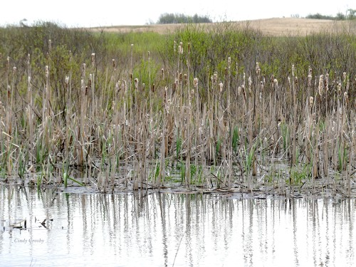 Cattails NG PowerlinePonds5220WM.jpg