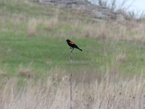 Red-winged blackbird Fame FlowerWM 5220NG.jpg