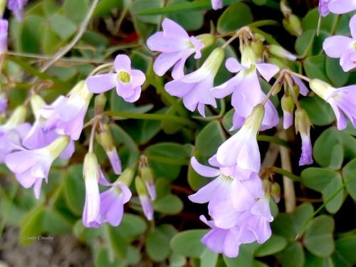 Violet Wood Sorrel BelmontPrairieWM5720.jpg