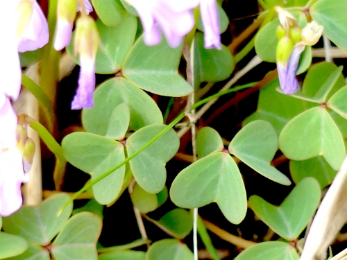 Violet wood sorrel leaves Belmont Prairie 5820.JPG