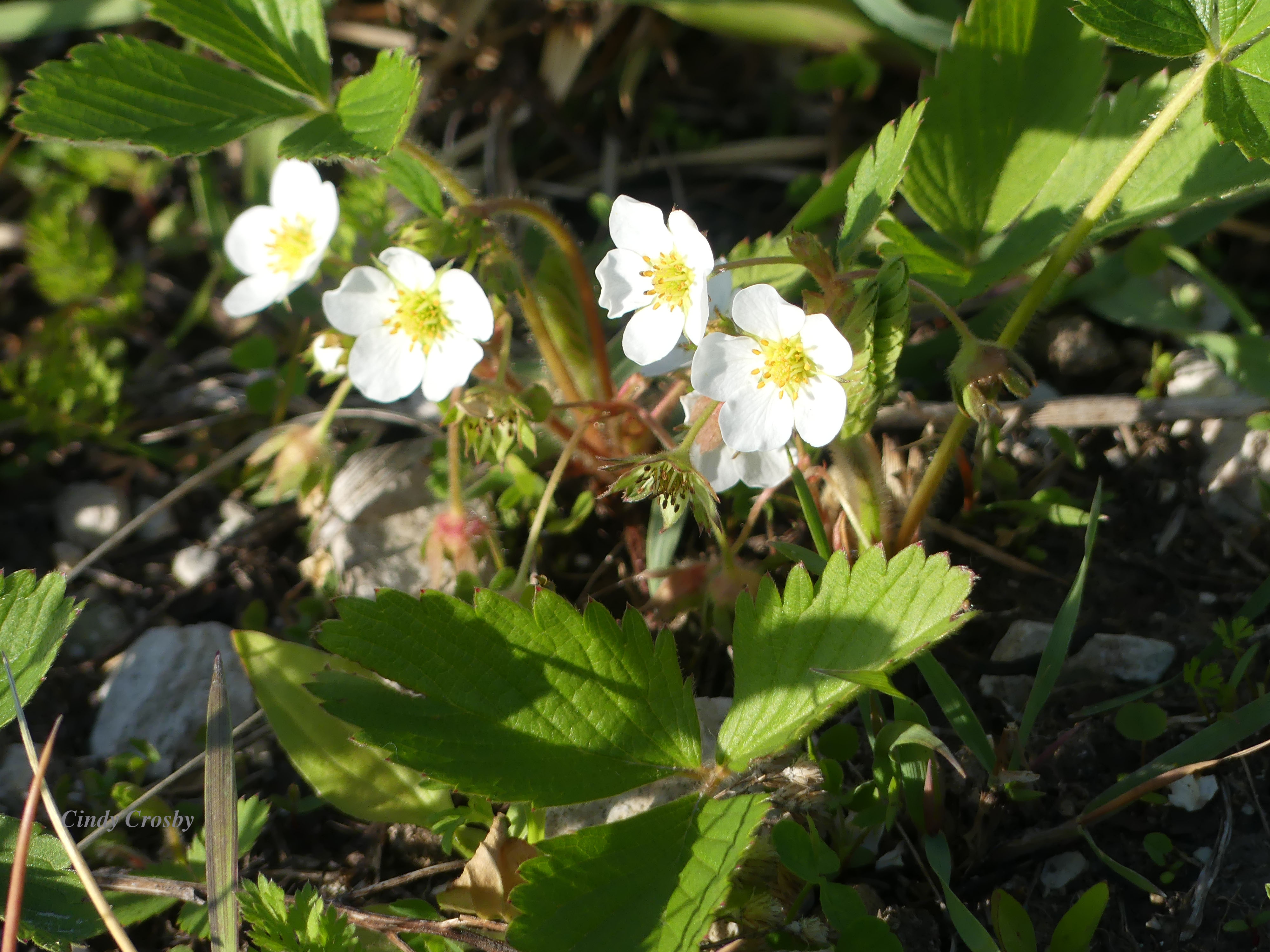 wildstrawberryVermontPrairie51220WM