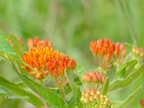 Butterfly Weed BelmontPrairie62120WM