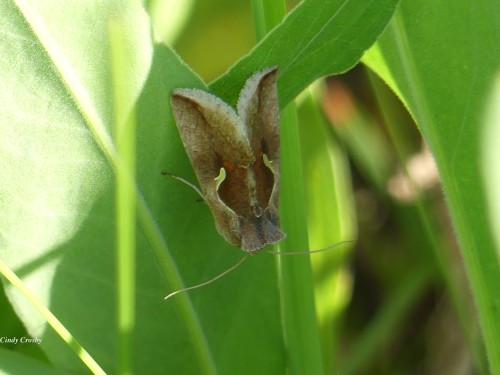 Celery Looper Moth SPMA61520WM