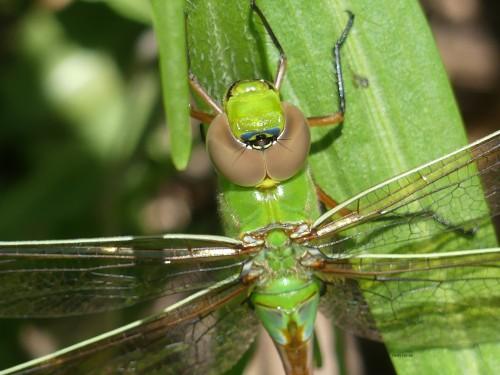 Female Green DarnerWM 62520 Backyard GE
