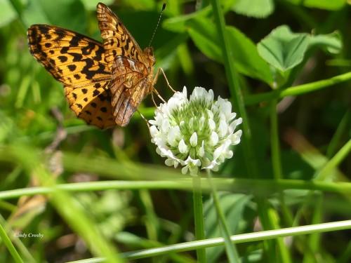 Meadow Fritillary NG61420correctWM