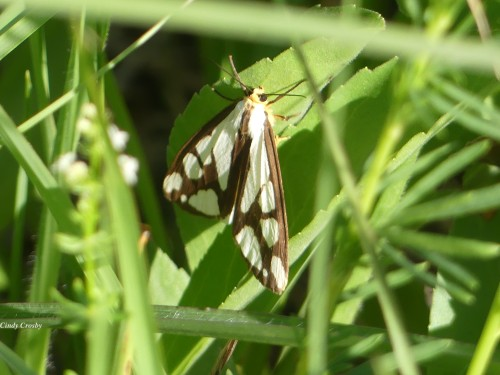 Reversed Haploa Moth SpMA61520WM
