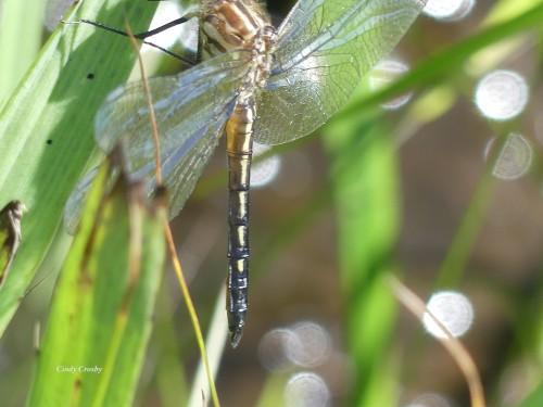 Teneral Dragonfly NG61420WM