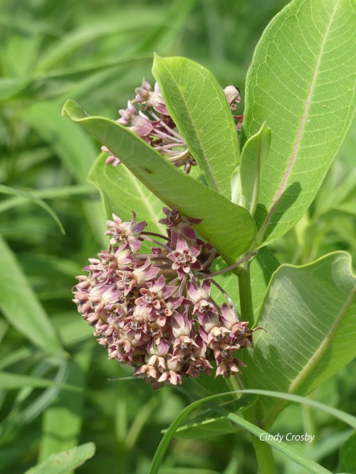 CommonMilkweed71120SPMAWM.jpg
