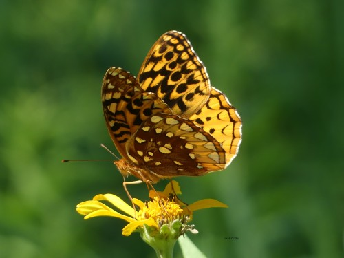 Great Spangled FritillarySPMA7520WM.jpg