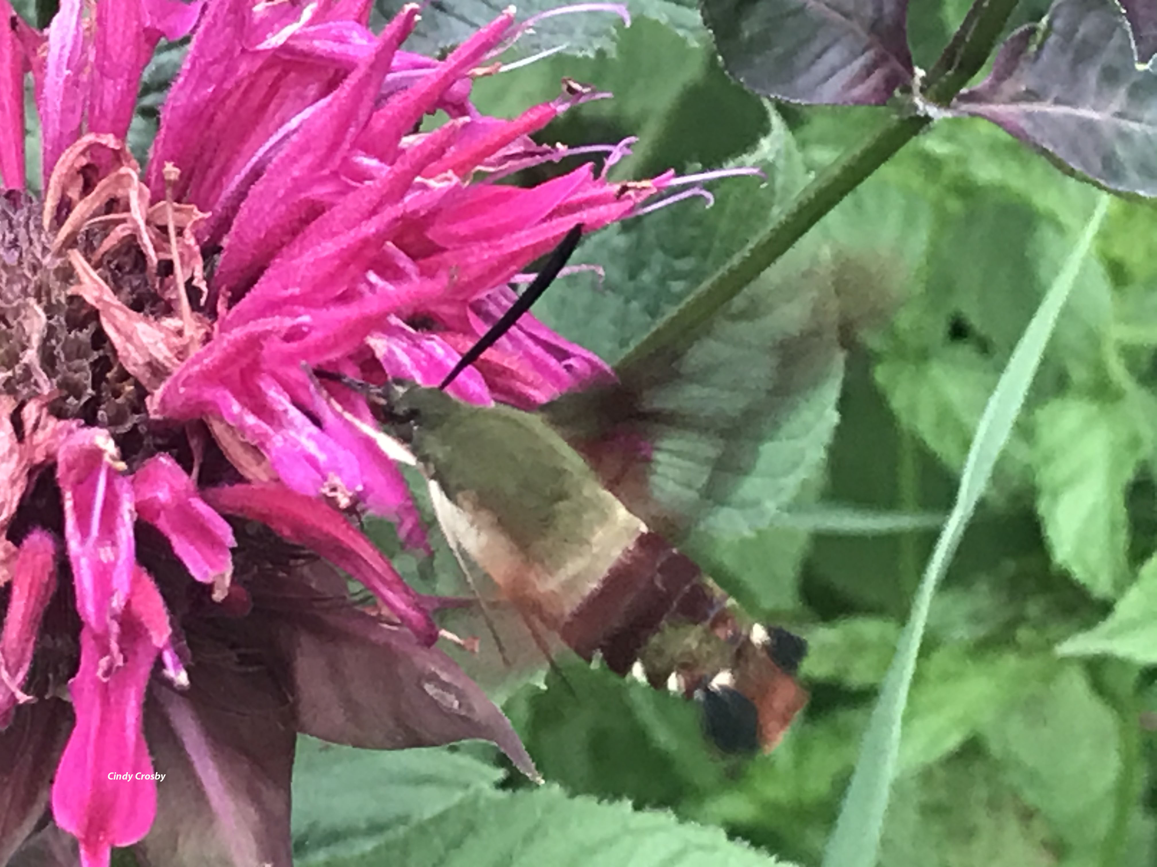 Hummingbird Moth 7820GEbackyardWM