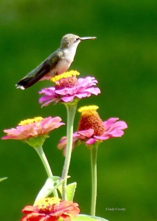 hummingbirdzinnia92119@WM.jpg