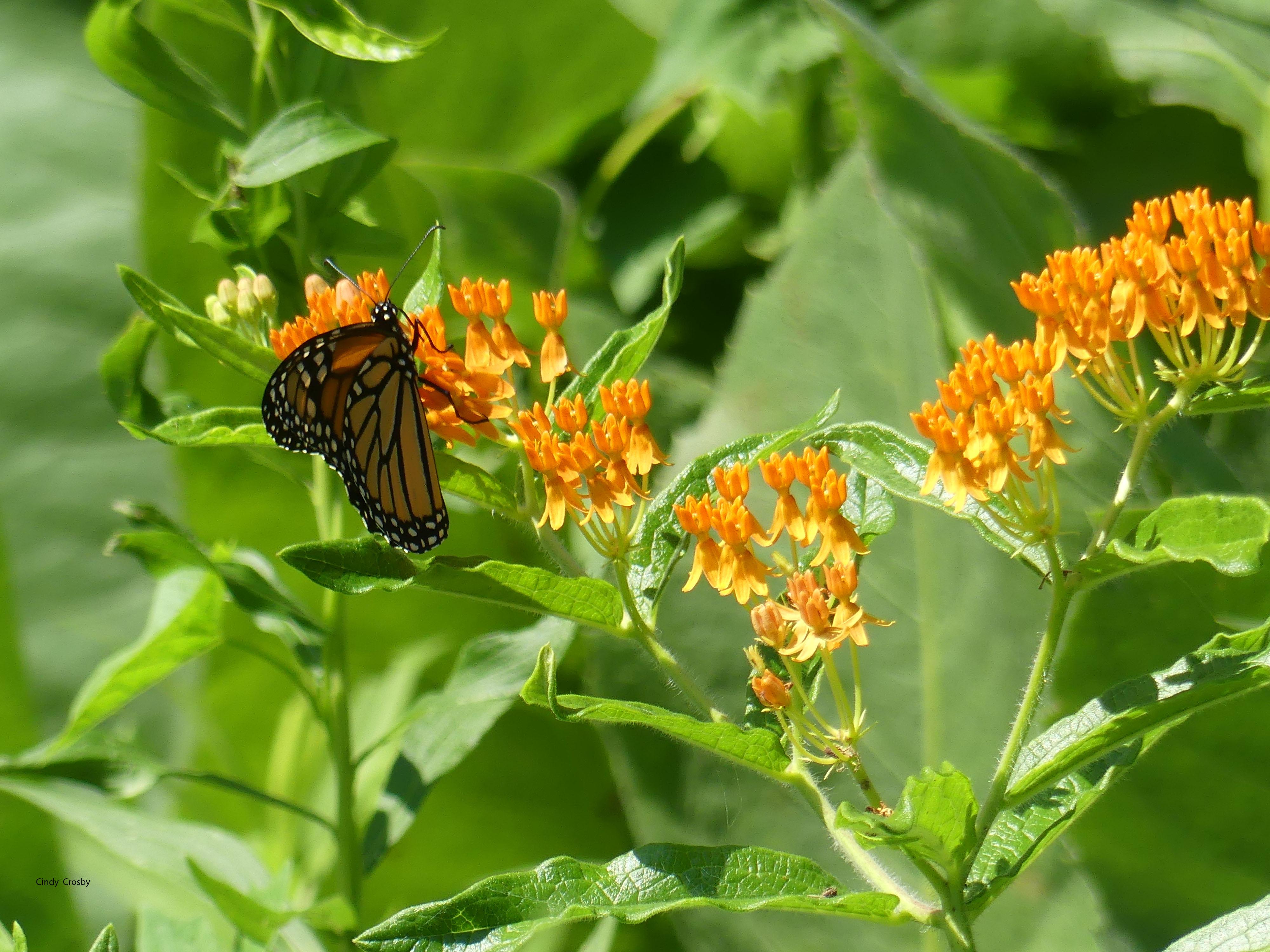 MonarchbutterflyweedSPMA7520WM.jpg
