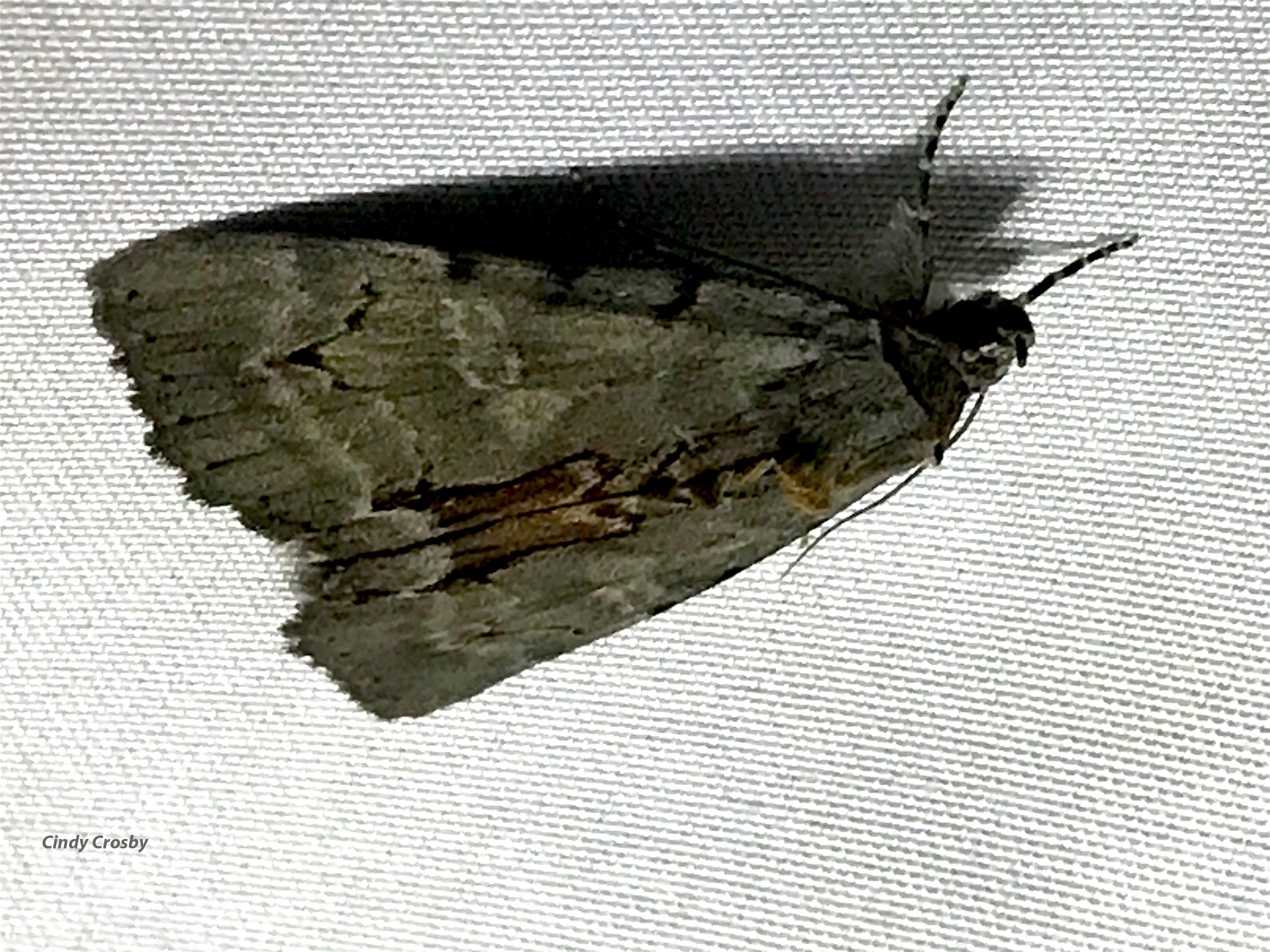 MothNightWMGE72620Backyardwoodyunderwing?.jpg