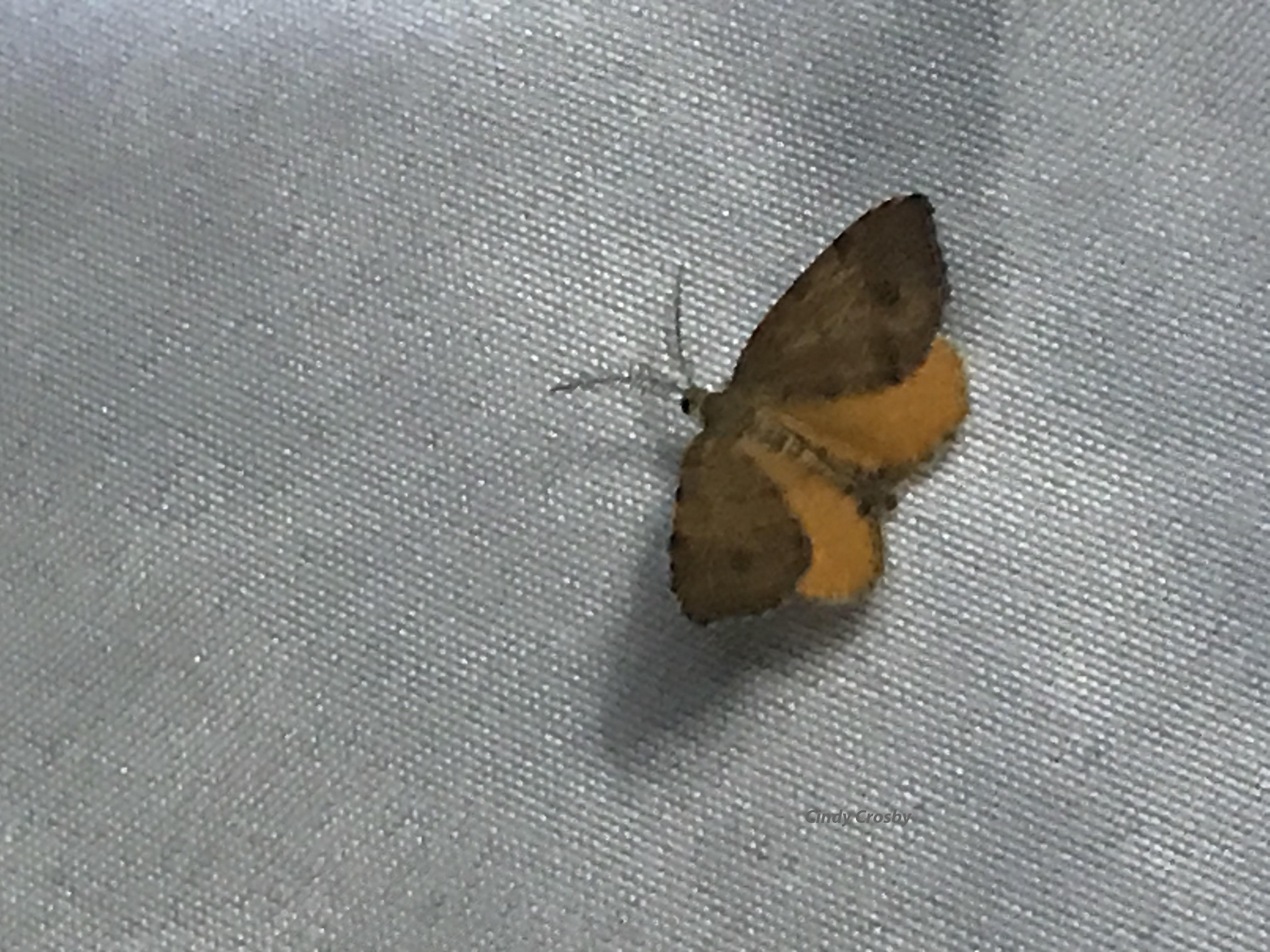 MothNightWMorangewing72520GEBackyard