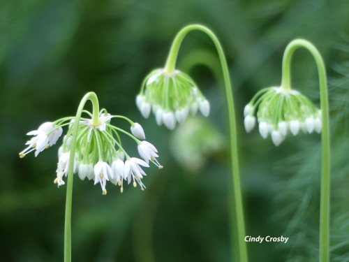 Nodding Onions GEBackyard71920WM.jpg