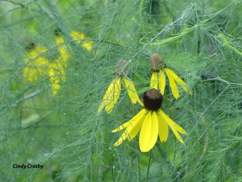 WMGrayheadedconeflowersandAsparagusGEBackyard71920