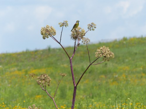 Angelica -- CROSBY NGWM with dickcissel