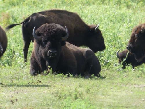 bisonatNachusa8520WM.jpg