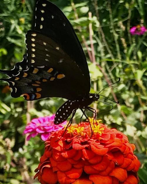 BlackSwallowtailButterflyGEbackyardWM81420