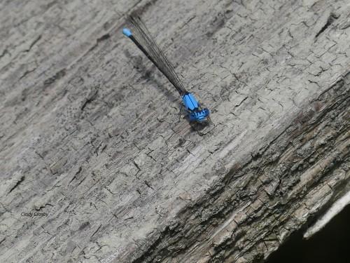 bluefrontedDancerSPMA81520WM.jpg