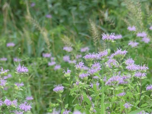 BottlebrushgrassandbeebalmWM8220SPMA