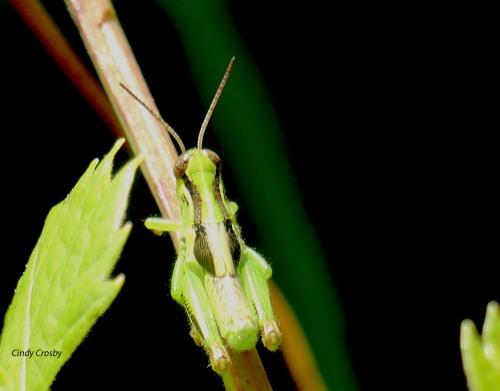 GrasshopperongrapevineSPMAWM81220.jpg