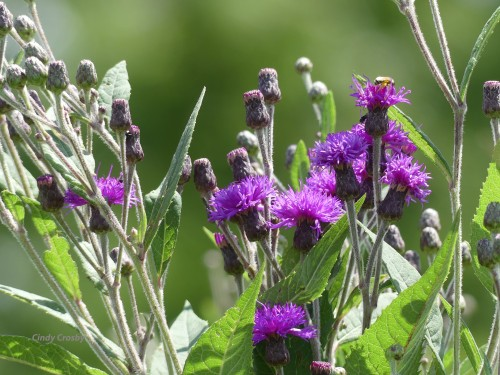 Ironweed8220SPMAWM.jpg
