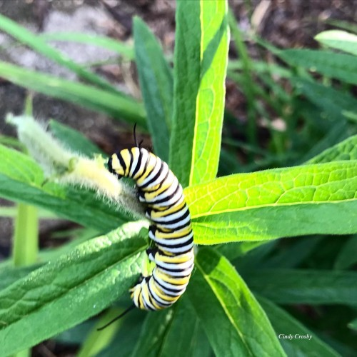 MonarchcaterpillarWM6820BackyardbutterflyweedGE.jpg