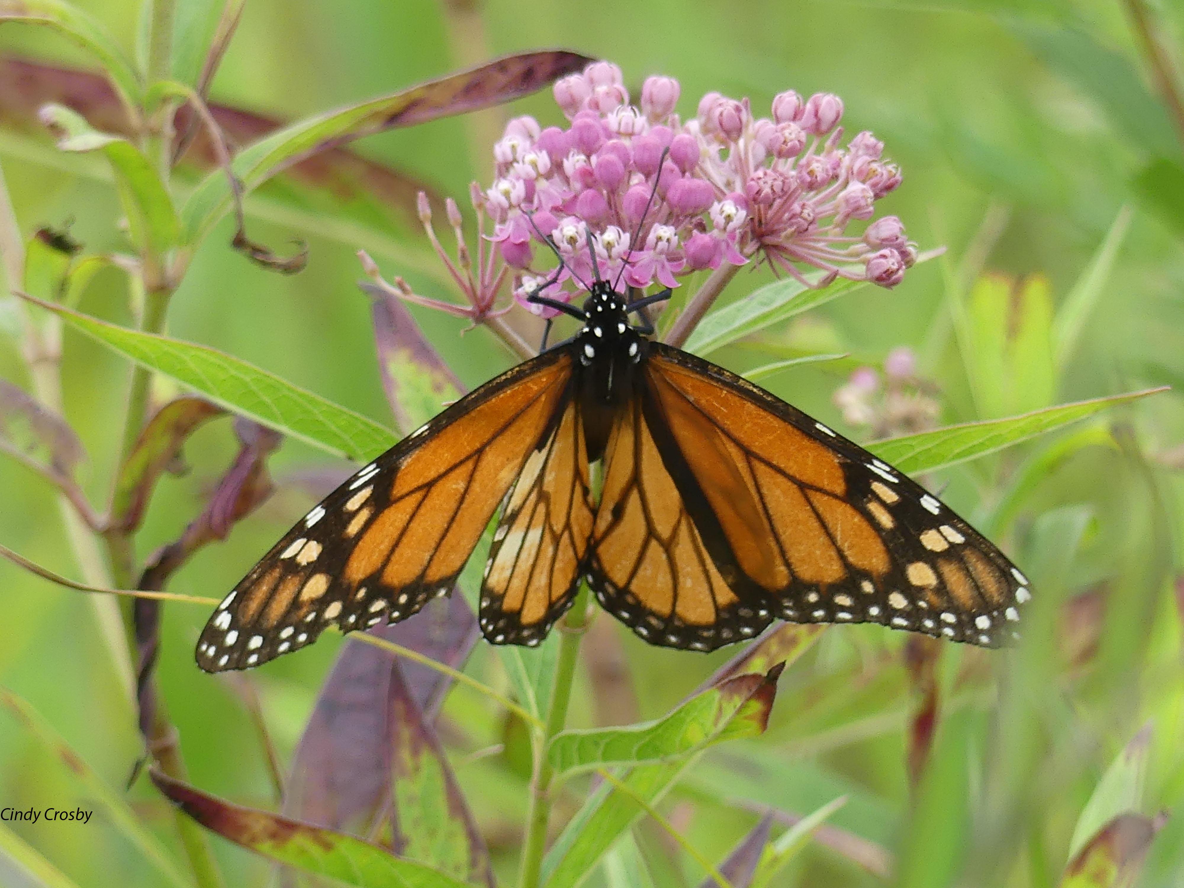 monarchonswampmilkweedNG8920WM.jpg