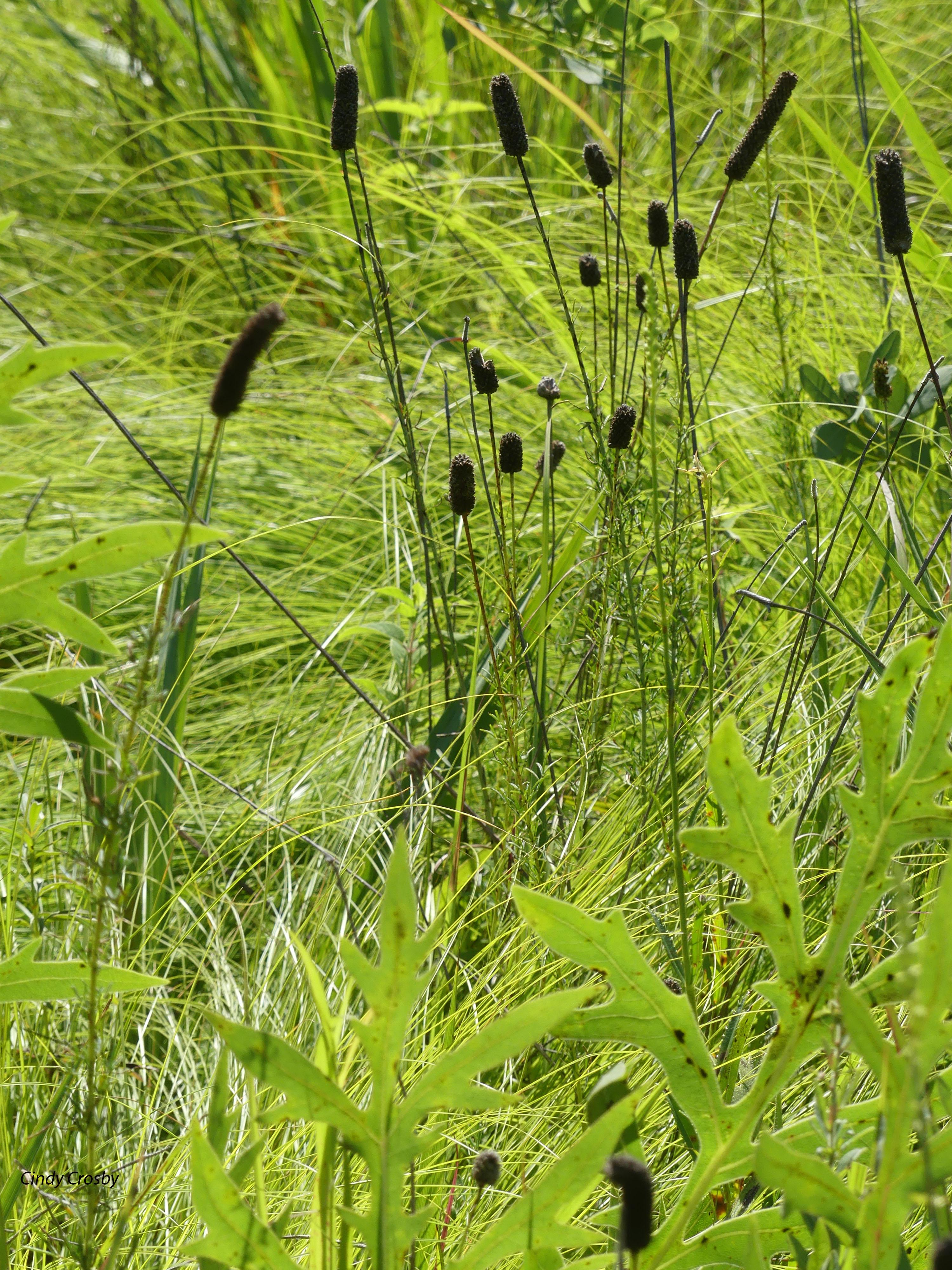Prairieclovergrasses81220SPMAWM.jpg