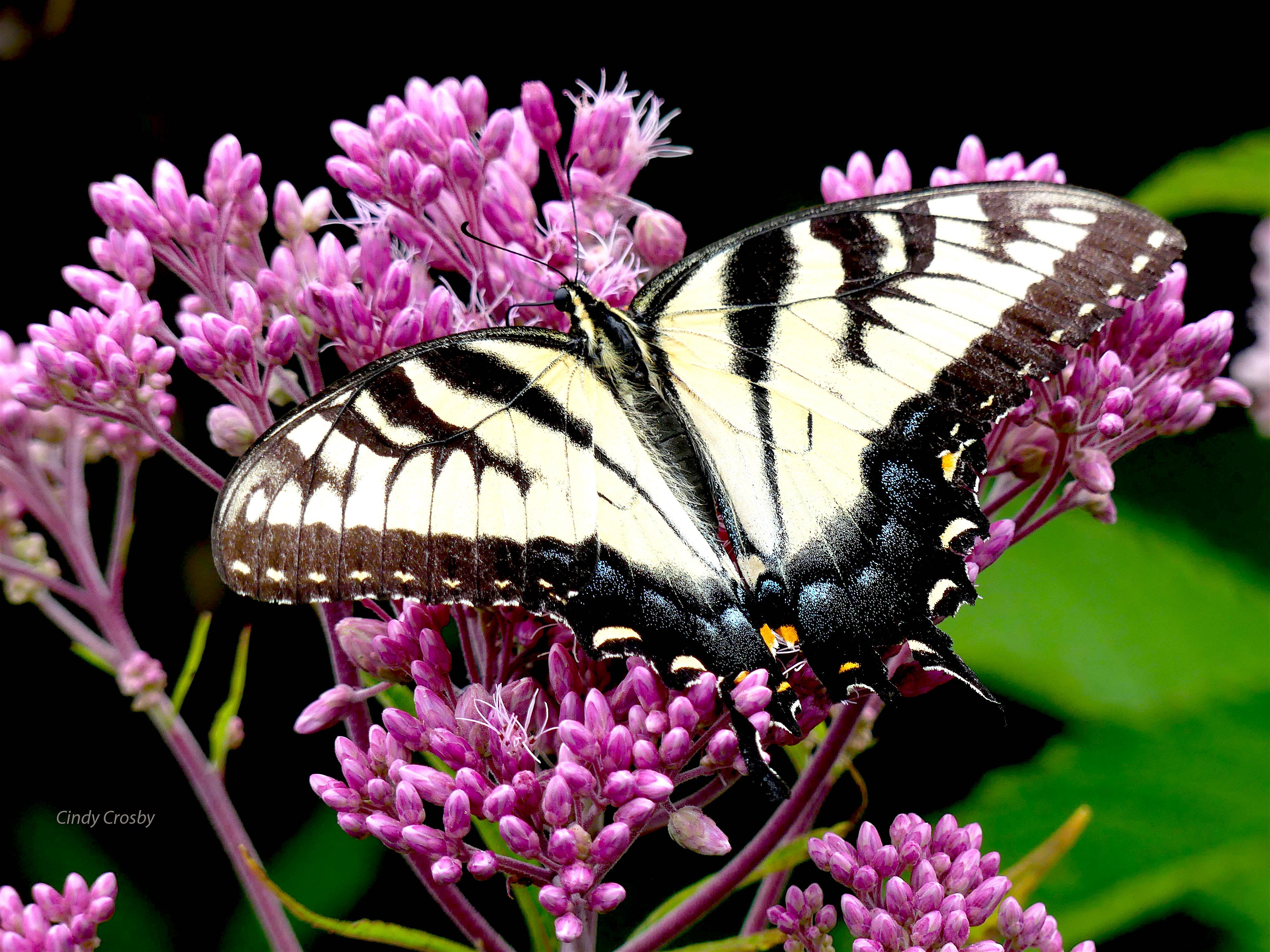 TigerSwallowtailJoePyeNGWMCC8920