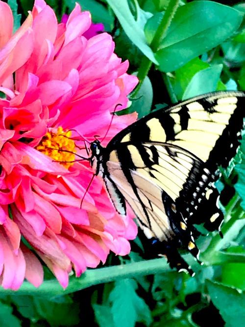 YellowTigerSwallowtailGEWMBackyard81620.jpg